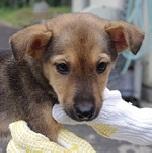 日本ドッグトレーナー協会__保護犬情報_楓
