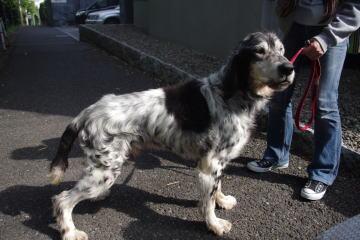 日本ドッグトレーナー協会保護犬支援プロジェクト_保護犬レポート_元①-3