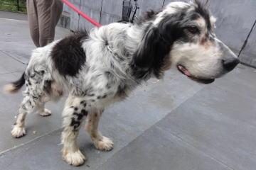 日本ドッグトレーナー協会保護犬支援プロジェクト_保護犬レポート_元①-2