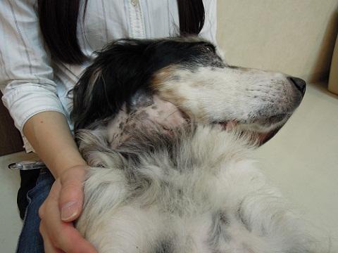 日本ドッグトレーナー協会_保護犬レポート_元0824-1