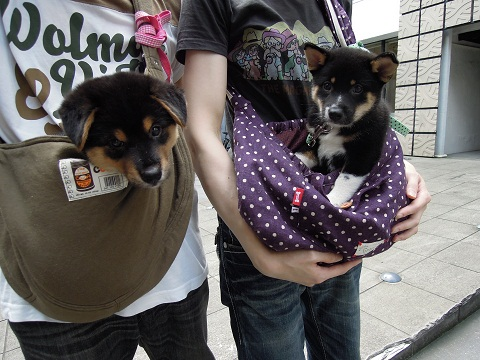 日本ドッグトレーナー協会_保護犬レポート_福結0826-1