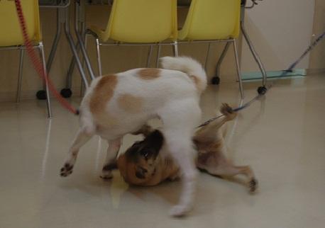 日本ドッグトレーナー協会_保護犬レポート_チップ&デール0820-4