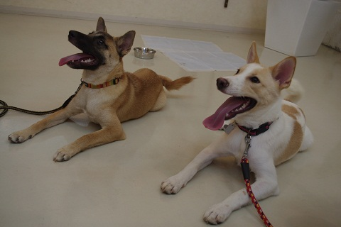 日本ドッグトレーナー協会_保護犬レポート_チップ&デール0820-1