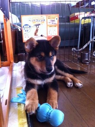 日本ドッグトレーナー協会_保護犬レポート_福1011-3