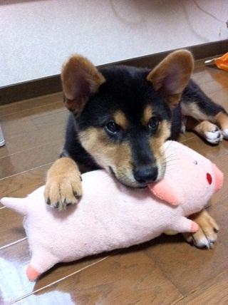 日本ドッグトレーナー協会_保護犬レポート_福1011-4