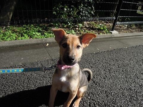日本ドッグトレーナー協会_保護犬レポート_楓紅葉1105-2