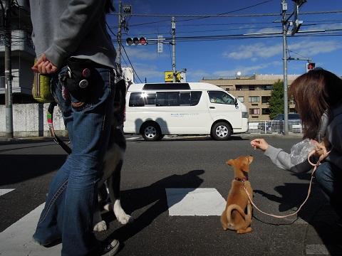 日本ドッグトレーナー協会_保護犬レポート_楓紅葉1105-4