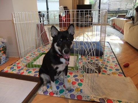 日本ドッグトレーナー協会_保護犬レポート_結1120-2