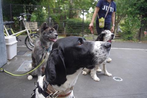 日本ドッグトレーナー協会_保護犬レポート_太斗1108-2