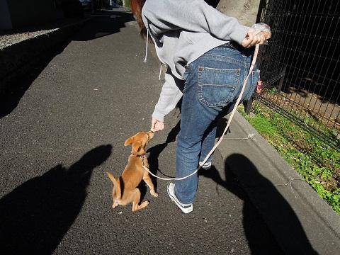 日本ドッグトレーナー協会_保護犬レポート_楓紅葉1105-3