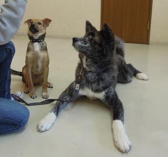 日本ドッグトレーナー協会_保護犬支援プロジェクト_保護犬レポート_楓1210-3