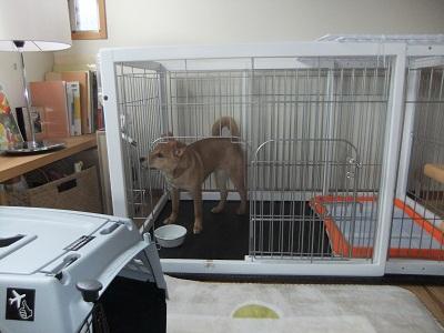 日本ドッグトレーナー協会_保護犬レポート_紅葉1224-1