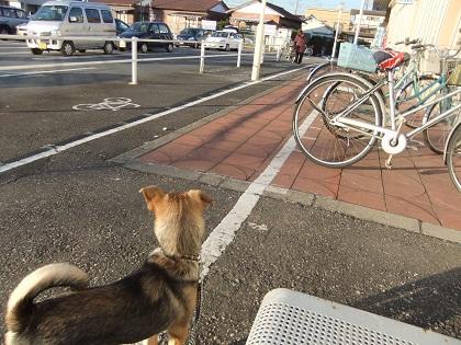 日本ドッグトレーナー協会_保護犬支援プロジェクト_保護犬レポート_楓1215-2