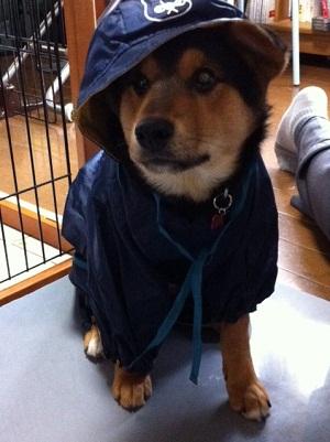 日本ドッグトレーナー協会_保護犬レポート_福1207-4