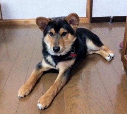 日本ドッグトレーナー協会_保護犬レポート_福1207-2