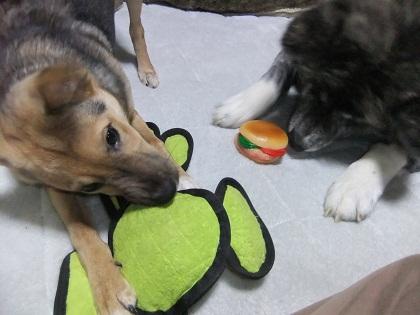 日本ドッグトレーナー協会_保護犬支援プロジェクト_保護犬レポート_楓1215-1