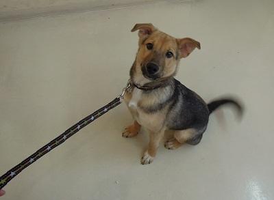 日本ドッグトレーナー協会_保護犬支援プロジェクト_保護犬レポート_楓1210--2