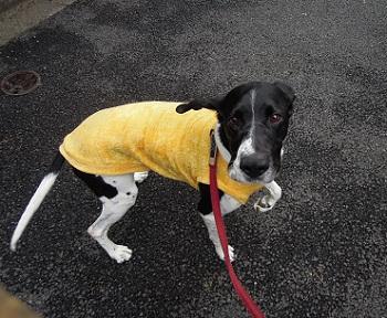 日本ドッグトレーナー協会_保護犬レポート_太斗2012-0226-4