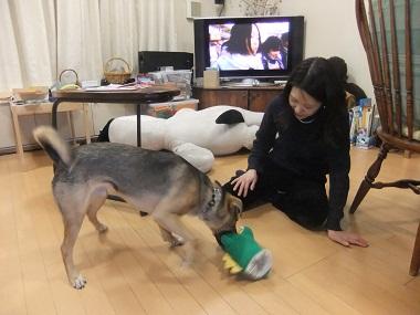 日本ドッグトレーナー協会_保護犬支援プロジェクト_保護犬レポート_楓2012-0210-2