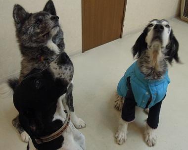 日本ドッグトレーナー協会_保護犬レポート_元12-0207-8