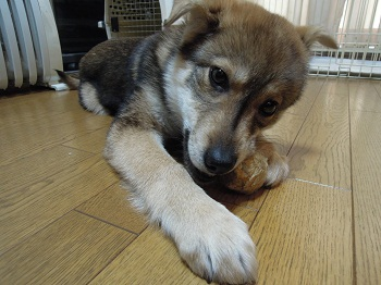 日本ドッグトレーナー協会_保護犬_すみれ0321-2