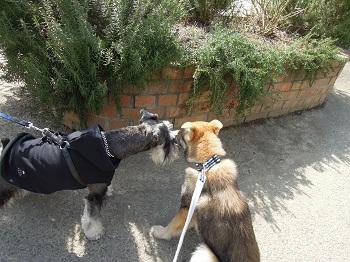 日本ドッグトレーナー協会_保護犬_すみれ0321-3