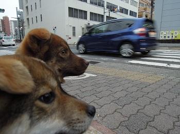 日本ドッグトレーナー協会_保護犬_すみれ&みずき20120307-2