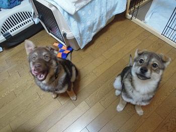 日本ドッグトレーナー協会_保護犬_すみれ&みずき20120307-5