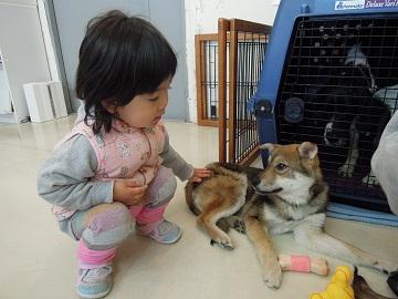 日本ドッグトレーナー協会_保護犬レポート_すみれ2012-0410-2