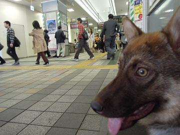 日本ドッグトレーナー協会_保護犬レポート_みずき2012-0509-3