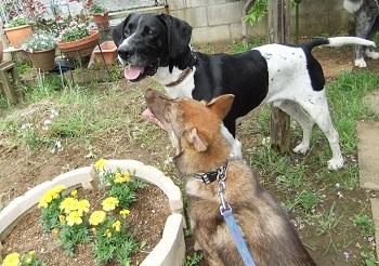 日本ドッグトレーナー協会_保護犬レポート_太斗2012-0512-5