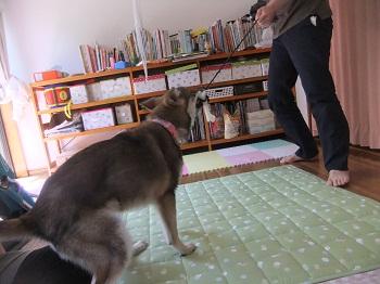 日本ドッグトレーナー協会_保護犬レポート_すみれ2012-0508-2