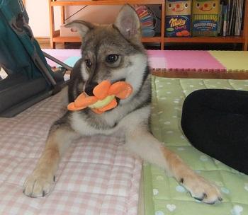 日本ドッグトレーナー協会_保護犬レポート_すみれ2012-0508-1