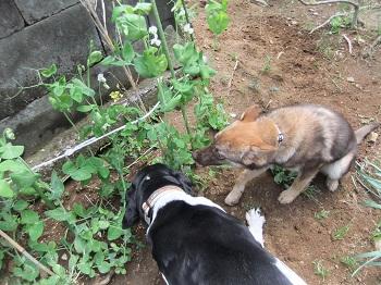 日本ドッグトレーナー協会_保護犬レポート_太斗2012-0512-4