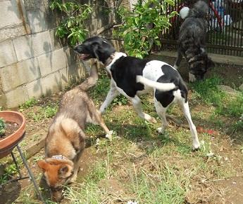 日本ドッグトレーナー協会_保護犬レポート_太斗2012-0512-2