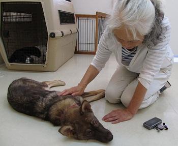 日本ドッグトレーナー協会_保護犬レポート_みずき2012-0708-1