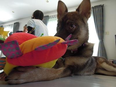 日本ドッグトレーナー協会_保護犬支援プロジェクト_保護犬レポート_みずき12-0704-3