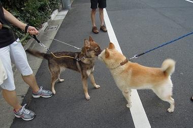 日本ドッグトレーナー協会_保護犬支援プロジェクト_保護犬レポート_みずき12-0920-3