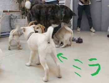 日本ドッグトレーナー協会_保護犬レポート_ミラ_2012-1101-1